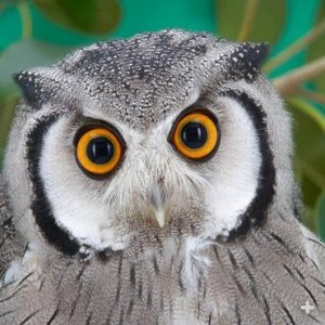 owl_southern_white_faced.jpg